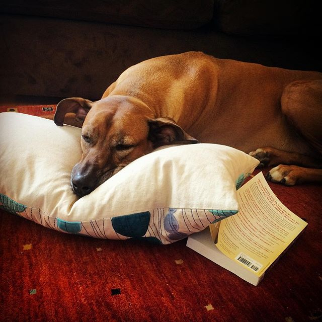 And some days all you need is a book and a nap. #KOBA #chiropractic #neurology #nutrition #Berkeley #bookworm #catnap #rhodesianridgeback #rr #selfhealing #holistichealth #theboss #KOBAatKOBA