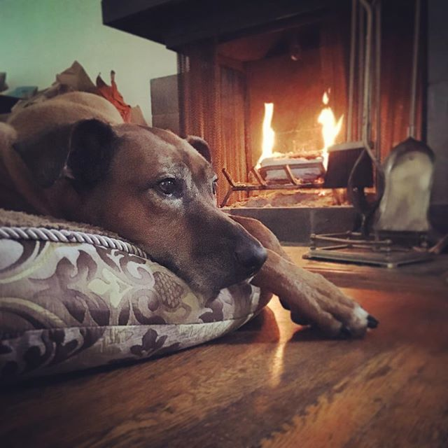 Rainy day cuddles. So many reasons why I love to work from home. #KOBAchiropractic #Berkeley #California #chiropractic #neurology #nutrition #functionalmedicine #homeopathy #bioenergeticmedicine #homeoffice #fireplace #rhodesianridgeback #rr #love #entrepreneurship #holistichealth #wellness