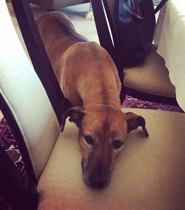 When she tryin to be cute, but she tall and awkward. #puppydogeyes #bacon #leftovers #begging #cute #awkward #rhodesianridgeback #wannabelapdog #talldogproblems #canseeeverythingonthetable #ridgeback #projectrr #paleo #paleodog #glutenfree #grainfree #dairyfree #kobameme #stillhungry #mydogeatsbetterthanme #dogsofinstagram #instadogs