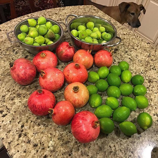 My Top 3: Pomegranates (By the bowlful like cereal) Persimmons (Ate them all with bacon) Figs (Fresh Baked Jammed) What are your 3 favorite fruits? 🍐🍋 . . . #organic #fruit #farm #farmfresh #harvest #sonoma #napa #aip #autoimmune #autoimmunepaleo #autoimmuneprotocol #paleo #guthealth #brainhealth #gfdf #JERF #foodstagram #glutenfree #dairyfree #hashimotos #chiropractic #nutrition #functionalmedicine #functionalneurology #homeopathy #KANARIlife #theKANARIlife #helloKOBA #DrNatashaFallahi #DrNatashaF